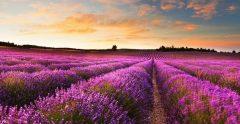 Lavender field at sunrise provence france mtime20201127135051